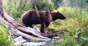 В Катунском заповеднике медведей становится больше