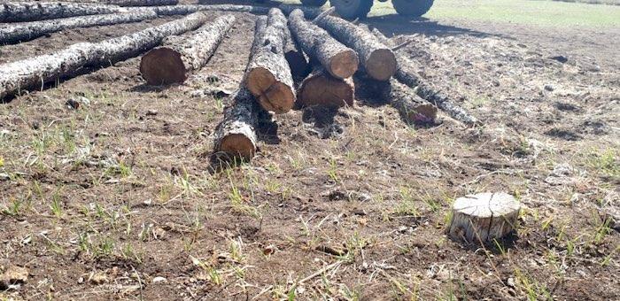 Более ста лиственниц незаконно срубил мужчина в урочище Малталу