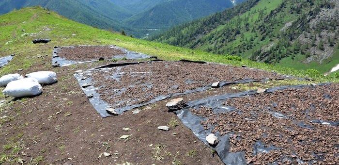 Более тонны «золотого корня» изъято в горах у браконьеров