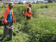 В Майминском районе проводятся рейды по уничтожению наркосодержащих растений