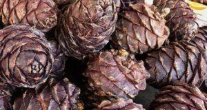 В этом году на Алтае ожидают хороший урожай кедровых орехов