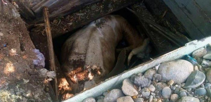 Пожарные спасли корову, провалившуюся в колодец