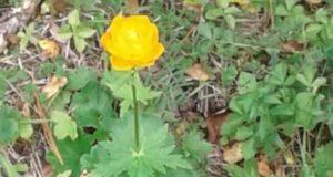 В Катунском заповеднике заметили цветущие огоньки