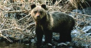 На Алтае медведь напугал туристов и съел их суп
