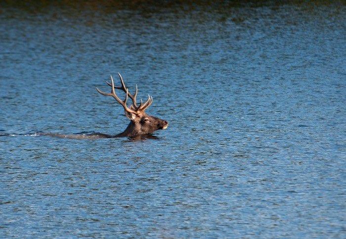 Купание марала в горном озере. Фотозарисовка