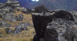 Кай и Герда: котятам снежного барса с плато Укок дали имена