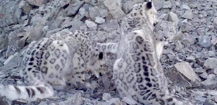 На хребте Чихачева в Горном Алтае обнаружили пять снежных барсов