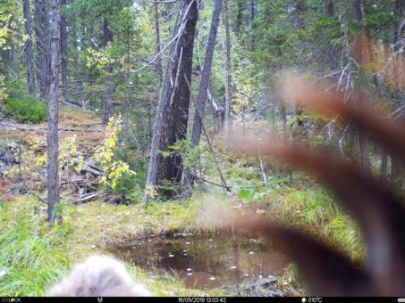 Медведь в Катунском заповеднике погрыз фотоловушку и сделал селфи