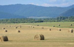 В Республике Алтай завершена заготовка кормов