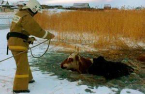 Пожарные Кош-Агача продолжают спасать провалившихся под лед коров