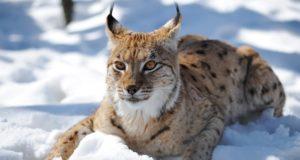 В Алтайском заповеднике рысь впервые попалась в видеоловушку