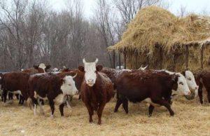 Пять центнеров на одну условную голову: на Алтае началась зимовка скота