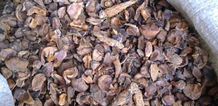 Скупщице кедровых орехов вместо шишек продали шелуху