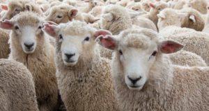 Житель республики похитил 243 племенных овцематок