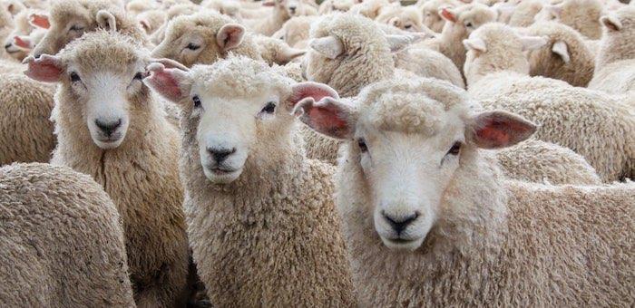 Житель республики похитил 243 племенных овцематки