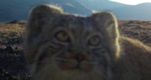 Любознательный кот-манул «сделал селфи»