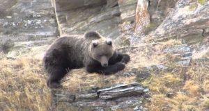 Как охотится сайлюгемский медведь: уникальные видеокадры