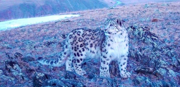 Розовый барсенок в горах Алтая: уникальный кадр с фотоловушки