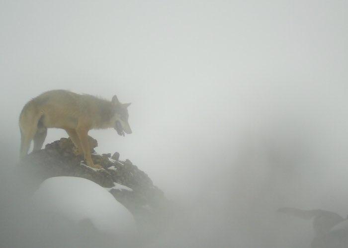 Волки в тумане. Хищники готовятся к охоте