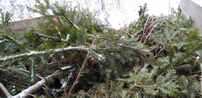 Житель Каракокши незаконно срубил 84 пихты