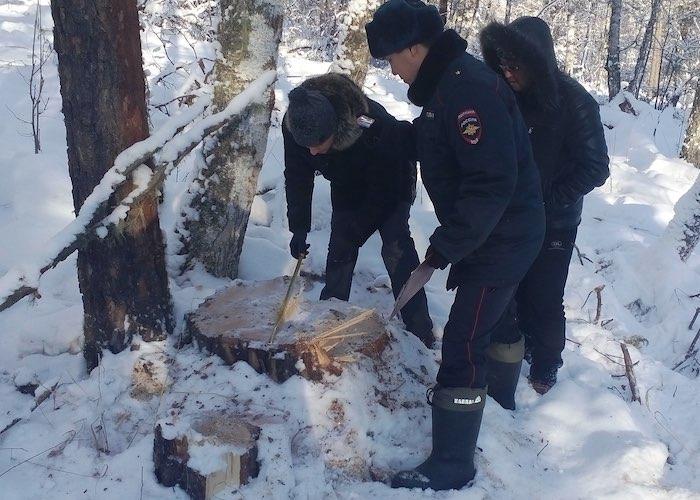 27 вековых сосен срубил злоумышленник в Чемальском районе