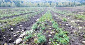 В Горном Алтае восстановлено почти 193 га утраченных хвойных лесов