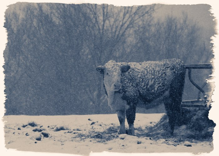 Зимовка скота 1945