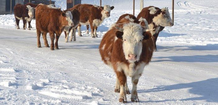 Зима на дворе, а на коровах нашли трех живых клещей