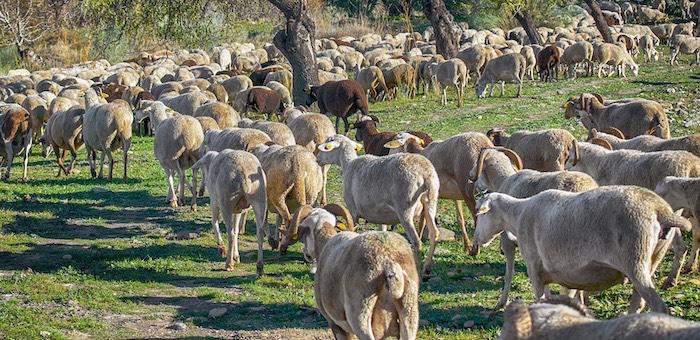 Похититель 243 племенных овцематок получил условный срок