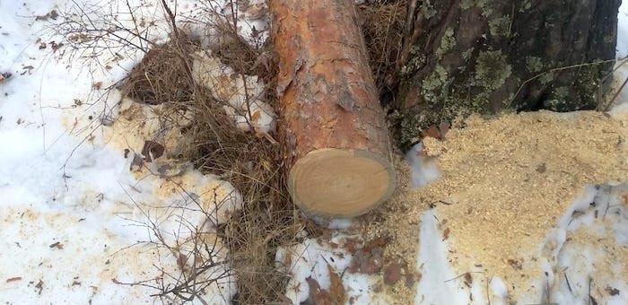 На горе Бешпек в Чемале незаконно срубили сосны