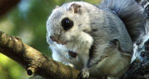 В Катунском заповеднике впервые обнаружили белку-летягу