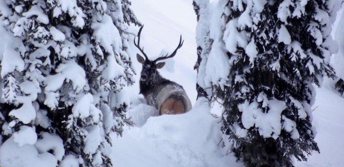 Марала в снегу сфотографировали в Алтайском заповеднике