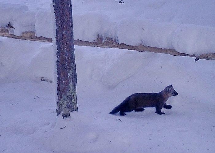 Как зимуют копытные в Алтайском заповеднике