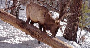 Копытные спустились в низкогорье Алтайского заповедника