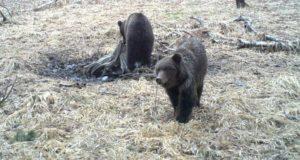 Сезон охоты на бурого медведя открывается в Республике Алтай