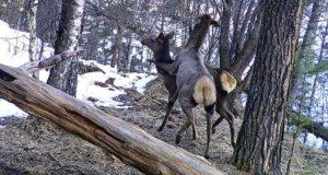 Маралы, медведи, рысь, косули и кабаны: новые кадры с фотоловушек