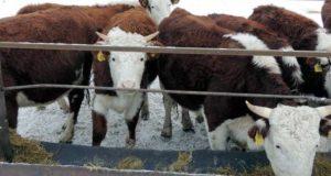 В Горном Алтае завершается зимовка скота