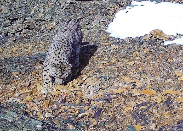 19 проходов снежного барса на территории плато Укок засняли фотоловушки