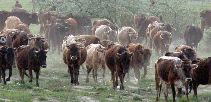 Участника группировки скотокрадов взяли под стражу