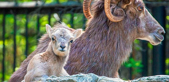 В Новосибирском зоопарке появился на свет детеныш аргали