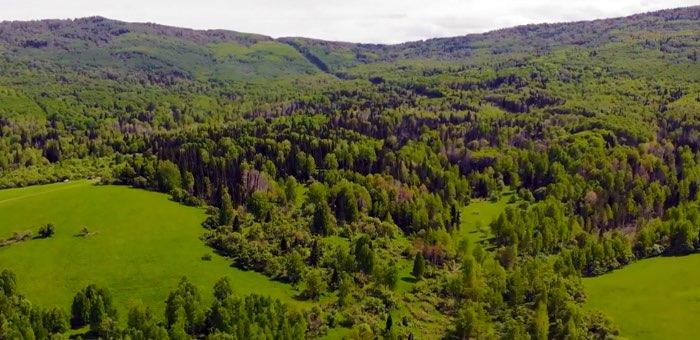 В мае в Республике Алтай высадят 468 тысяч деревьев
