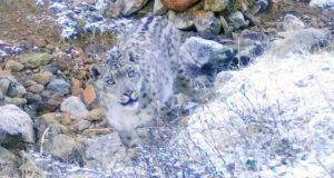51 снежного барса насчитали экологи в России, в том числе на Алтае – 35