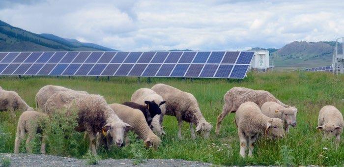 На солнечную электростанцию в Усть-Кане выпустили пастись 50 овец