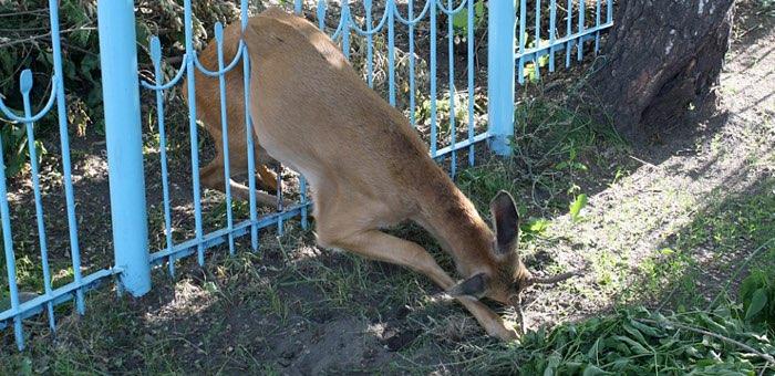 В Горно-Алтайске спасли косулю, застрявшую в заборе