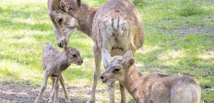 В Новосибирском зоопарке на свет появились еще два детеныша аргали