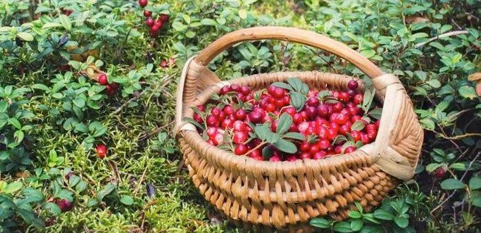 Сроки заготовки ягод и ореха установили на Алтае