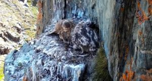 Видео из Сайлюгемского нацпарка: самка кормит соколят