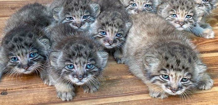 16 голубоглазых котят манулов появились на свет в новосибирском зоопарке