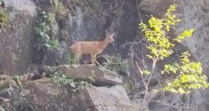 Самец косули попал в «каменную ловушку» возле водопада Киште на Телецком озере