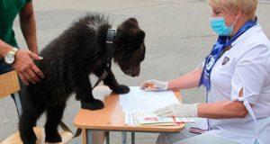 Медведица Глафира из Республики Алтай посетила избирательный участок
